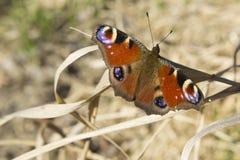 Pfau-Schmetterling Lizenzfreies Stockfoto