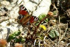 Pfau-Schmetterling Aglais io lizenzfreies stockbild