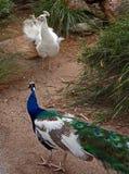 Pfau und Albino Peacock, die weg quadrieren und in Adelaide Australia sich kämpfen Stockfoto