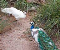 Pfau und Albino Peacock, die weg quadrieren und in Adelaide Australia sich kämpfen Stockfotos