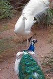 Pfau und Albino Peacock, die weg quadrieren und in Adelaide Australia sich kämpfen Lizenzfreie Stockfotografie