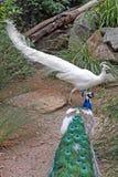 Pfau und Albino Peacock, die weg quadrieren und in Adelaide Australia sich kämpfen Lizenzfreies Stockfoto