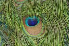 Pfau versieht Hintergrund mit Federn Lizenzfreies Stockbild