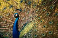 Pfau zeigt seine bunten Schwanzfedern an Stockfotografie