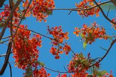 Pfaublumen auf Poinciana Baum Stockbild