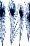Pfaufedern im Blau Stockfotografie