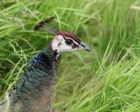 Pfauhenne-Porträt (Kopf und Hals) in der natürlichen Umwelt Lizenzfreie Stockfotografie