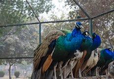 Pfaus, die in einem Zoo sitzen Lizenzfreie Stockfotografie