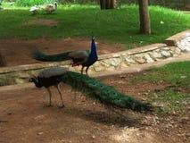 Pfaus und Enten am Schmetterlings-Park, Mysore lizenzfreie stockbilder