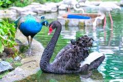 Pfaus und Schwäne spielen zusammen im Zoo Lizenzfreie Stockfotografie