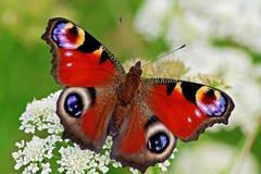 Pfauschmetterling auf Blumengrünhintergrund lizenzfreies stockbild