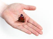 Pfauschmetterling auf der Hand des Mannes Lizenzfreies Stockfoto