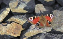 Pfauschmetterling, der auf Felsen sitzt Stockfoto