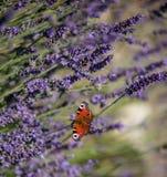 Pfauschmetterling, der auf violettem Lavendel sitzt Lizenzfreie Stockfotografie