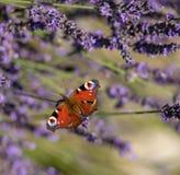 Pfauschmetterling, der auf violettem Lavendel sitzt stockfoto