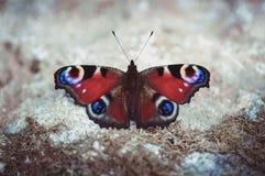 Pfauschmetterling, der aus den Grund an einem sonnigen Sommertag auf einem grauen Hintergrund stillsteht Schmetterling mit schöne lizenzfreies stockbild
