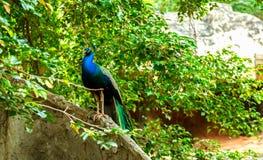 Pfauvogel im Zoo Lizenzfreie Stockfotos