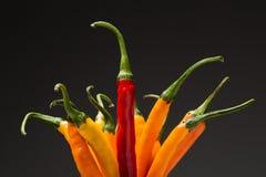 Pfeffer des gelben und roten Paprikas auf einem schwarzen Hintergrund Stockbild