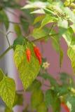Pfeffer des roten Paprikas im Garten Stockfotografie