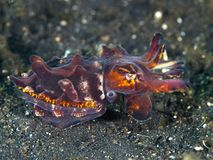 Pfeffer's flamboyant cuttlefish Royalty Free Stock Photography