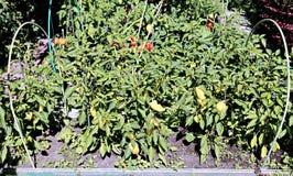 Pfefferanlagen auf dem Garten Stockfotos