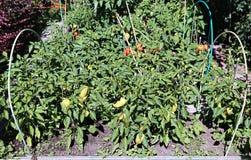 Pfefferanlagen auf dem Garten Lizenzfreie Stockfotos