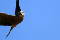 Pfeifender Drachen - Kakadu Nationalpark, Australien Lizenzfreie Stockfotos