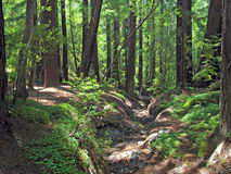 Pfeiffer Big Sur Redwoods. Green undergrowth under redwood trees in forest royalty free stock photo