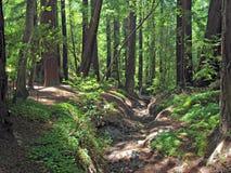 Pfeiffer stora Sur redwoodträd Royaltyfri Foto