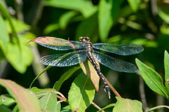 Pfeil Clubtail-Libelle Stockfoto