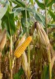 Pfeiler von Mais auf Getreidefeld Stockfotografie
