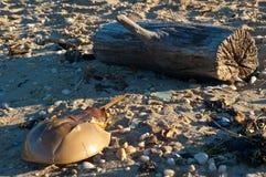 Pfeilschwanzkrebs auf dem Strand stockfotos