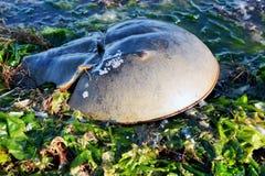 Pfeilschwanzkrebs in der Meerespflanze Lizenzfreie Stockfotografie