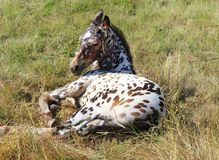 Pferd, Appaloosarennen lizenzfreies stockbild