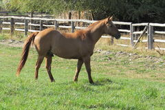 Pferd auf Bauernhof Stockbild