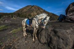 Pferd auf Berg Bromo Stockbild
