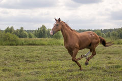 Pferd auf dem Feld Stockbild