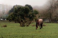 Pferd auf dem Feld an einem nebeligen Morgen/am nebeligen Herbstmorgen ein Pferd und ein Baum stockfoto
