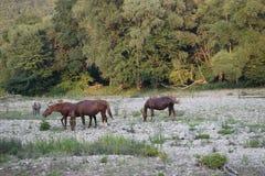 Pferd auf dem Fluss Stockfoto