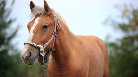 Pferd auf dem Gebiet stock video
