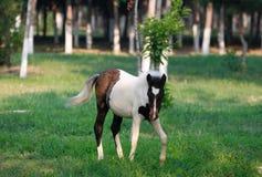 Pferd auf dem Gebiet Stockbild