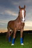 Pferd auf dem Gebiet bei Sonnenuntergang stockbilder