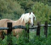 Pferd auf dem Gebiet, das über Zaun blickt stockfotos