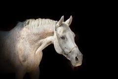 Pferd auf dem schwarzen Hintergrund Stockfoto