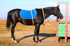 Pferd auf der Leine Stockfotos