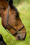 Pferd auf der Weide Lizenzfreie Stockbilder