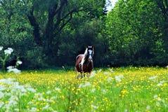 Pferd auf einem Gebiet der Butterblumeen lizenzfreie stockbilder