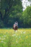 Pferd auf einem Gebiet der Butterblumeen lizenzfreie stockfotografie