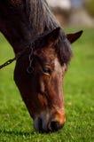 Pferd auf einem Grashintergrund im ukrainischen Dorf Stockfotografie