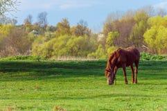 Pferd auf einem Grashintergrund im ukrainischen Dorf Stockbild